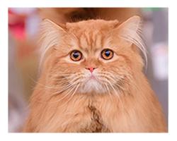 Шотландский длинношерстный кот HALLIWELL'S HILARIO