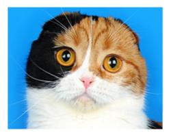 Шотландская вислоухая кошка BEST STAR LINE KARAMEL