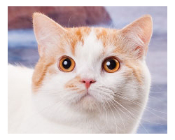 Шотландский короткошерстный кот SAINT HUNTER'S PRINCE LEOPOLD
