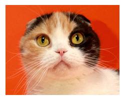 Шотландская вислоухая кошка KALEVALLAFOLD NEITTI